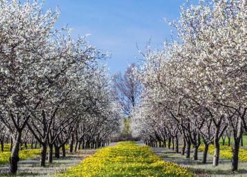 cherry-blossom-traverse-city-michigan-blossoms-one-largest-producers-tart-cherries-world-56288708